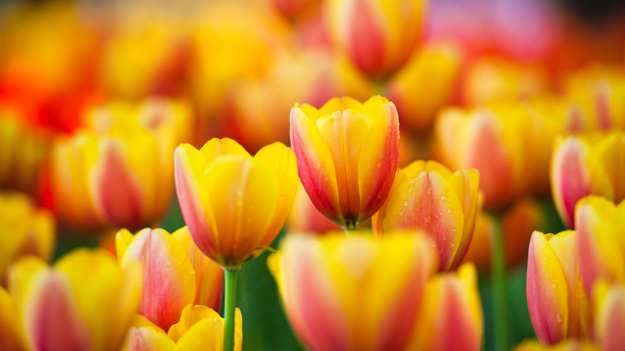 Spring Tulip Desktop Wallpaper