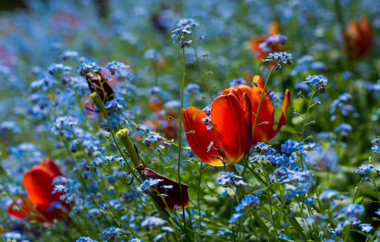 Wallpaper flowers bright spring garden blue tulips red buds 1332x850