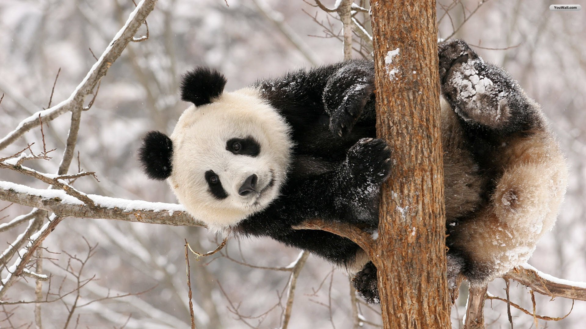 YouWall   Cute Panda Wallpaper   wallpaperwallpapersfree wallpaper 1920x1080