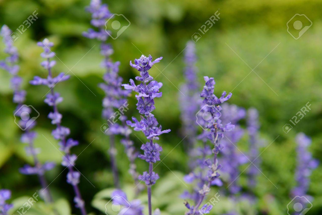Clary Sage Salvia Sclarea For Background Use Stock Photo 1300x867