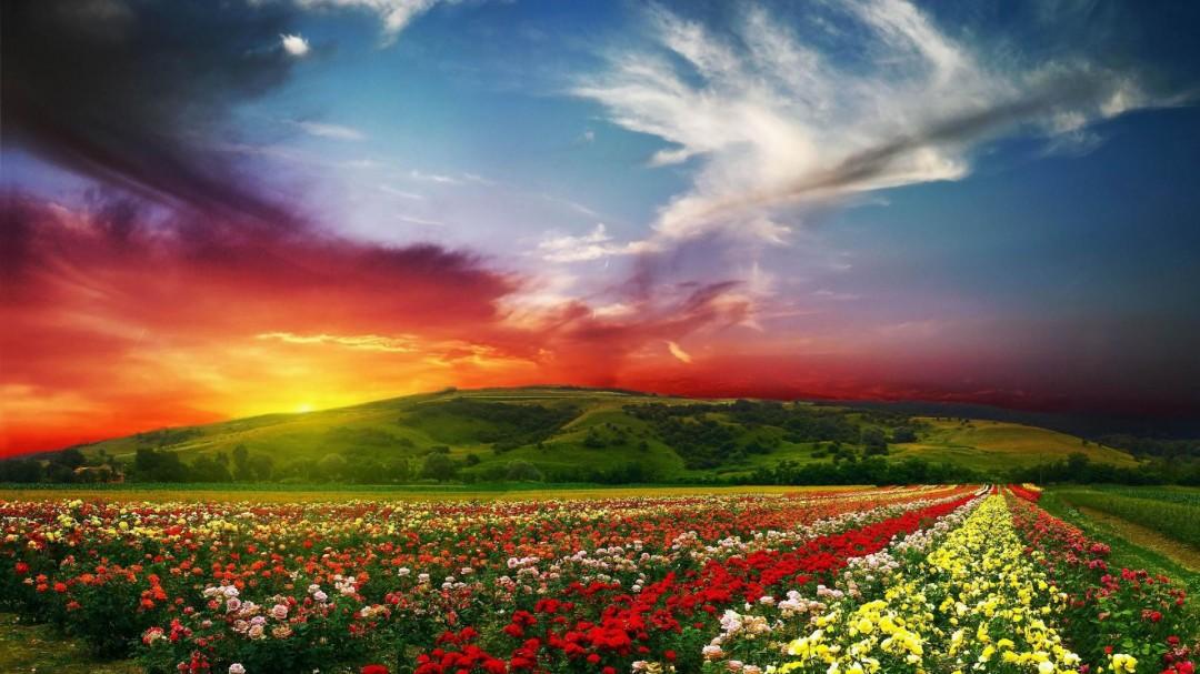 Rose Flower Garden Background HD Wallpaper HD Wallpaper of 1080x607
