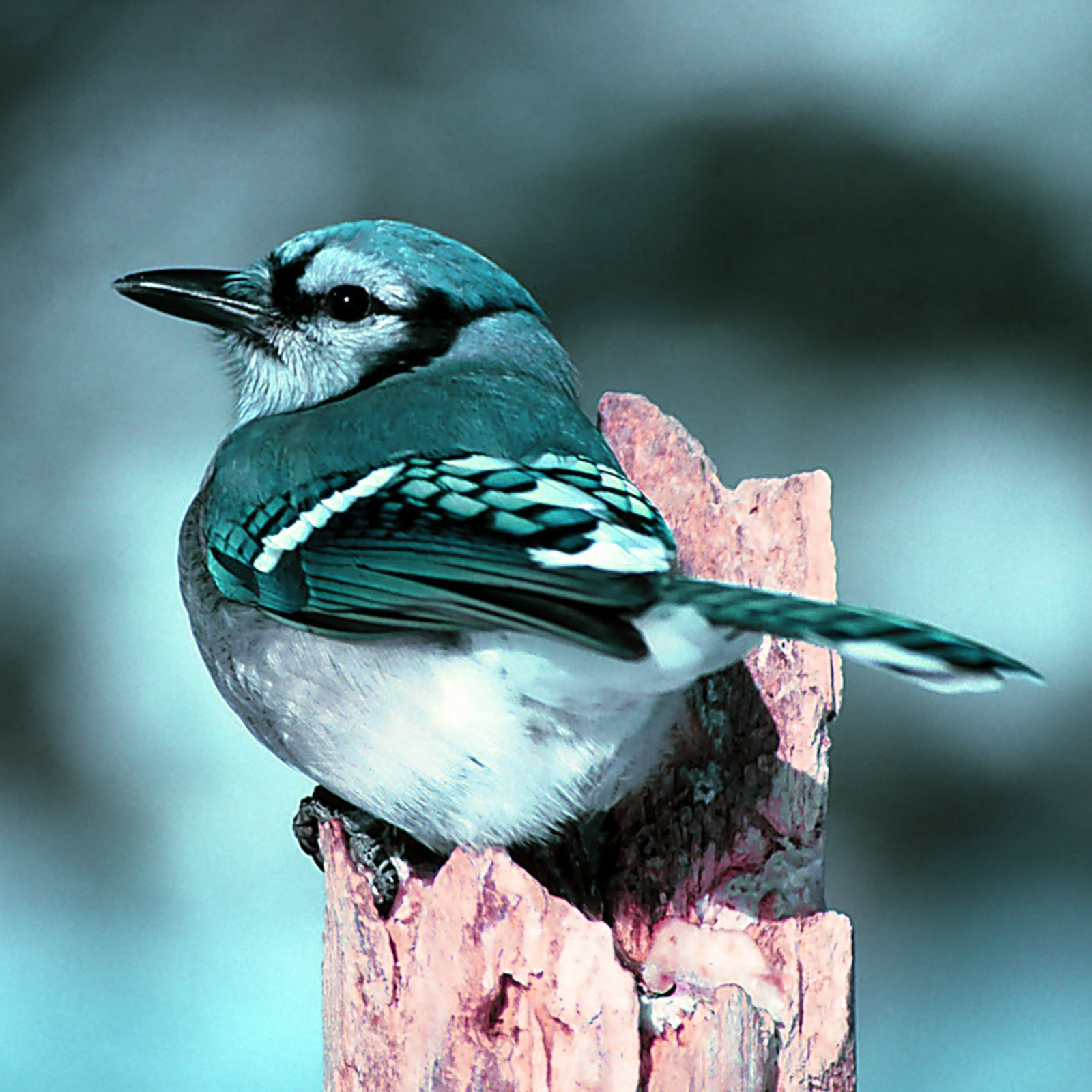 HD Blue Jay Bird Nature Wallpaper webextensionline 1600x1600