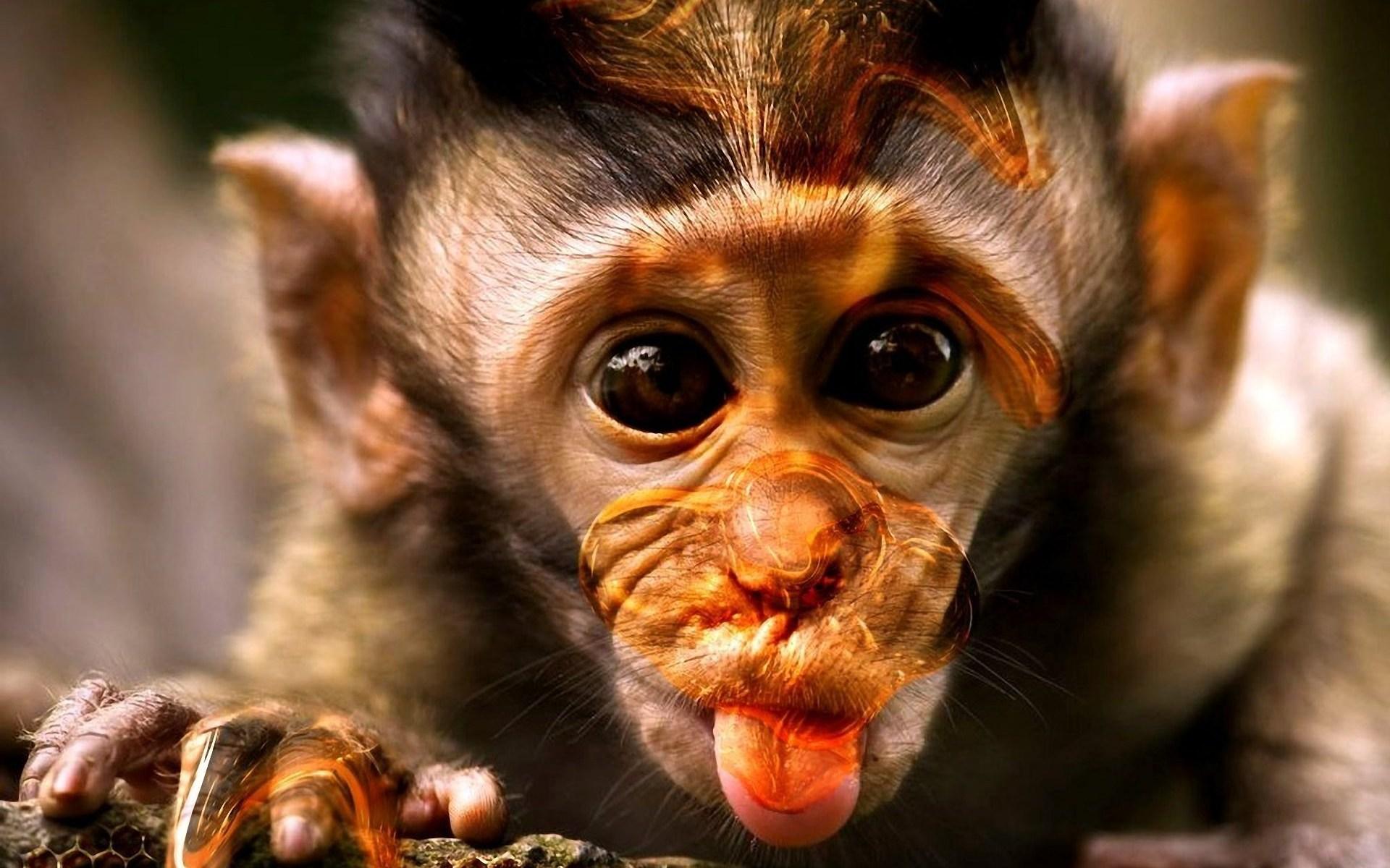 Monkey Wallpaper monkey wallpaper - wallpapersafari