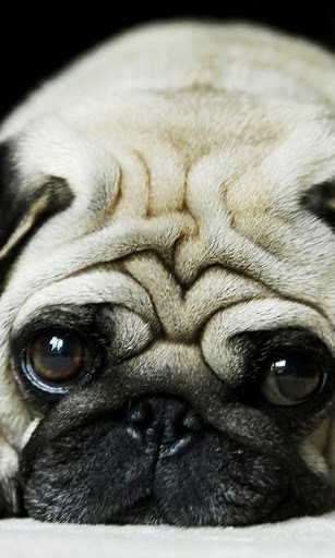 View bigger   Pug HD Wallpapers for Android screenshot 307x512