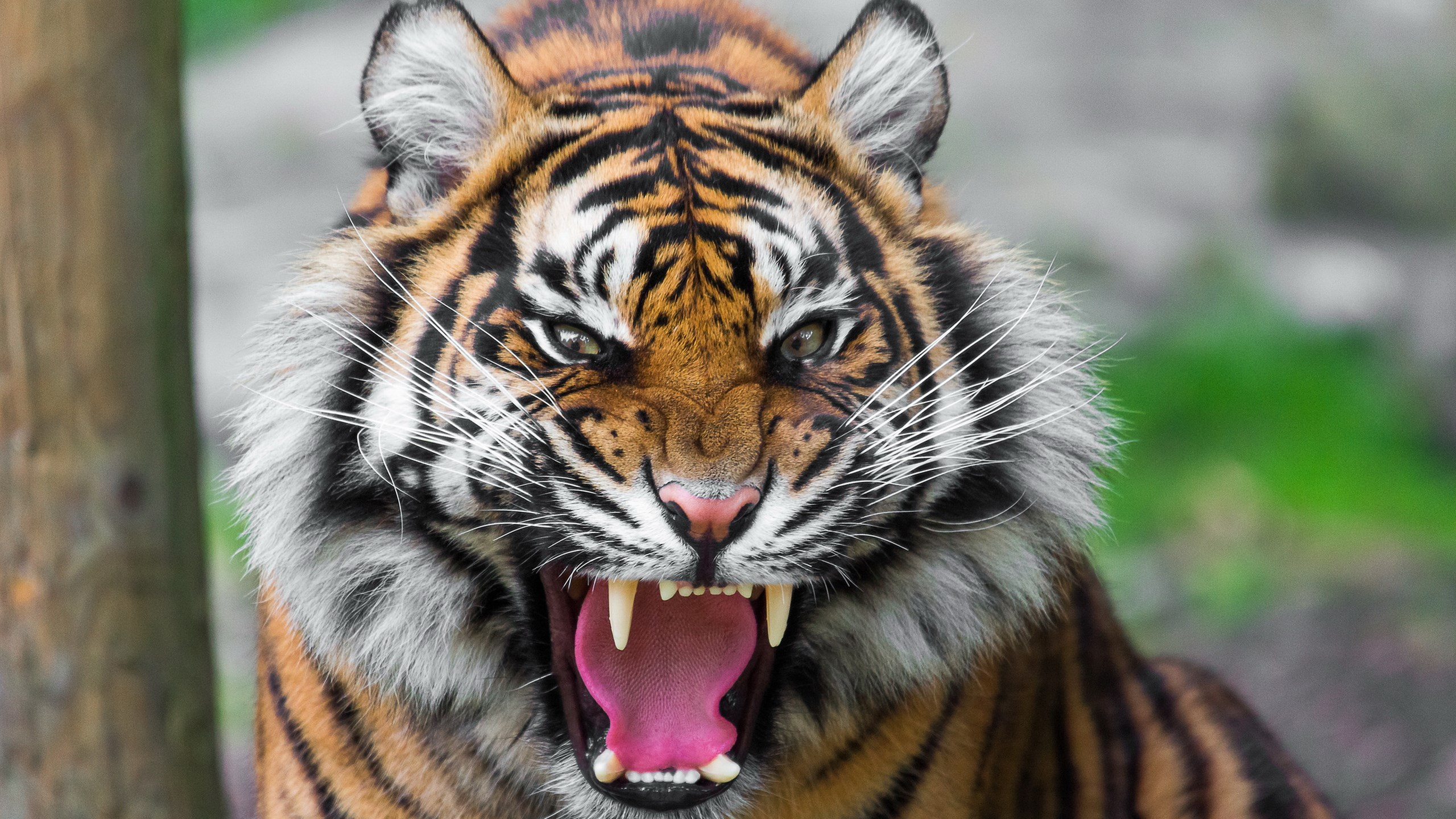 Free Download 1055 Roaring Tiger Wallpaper Hd Tiger Wallpaper 4k Tiger Images 2560x1440 For Your Desktop Mobile Tablet Explore 19 4k Tiger Wallpapers 4k Tiger Wallpapers Tiger Wallpapers Wallpaper Tiger