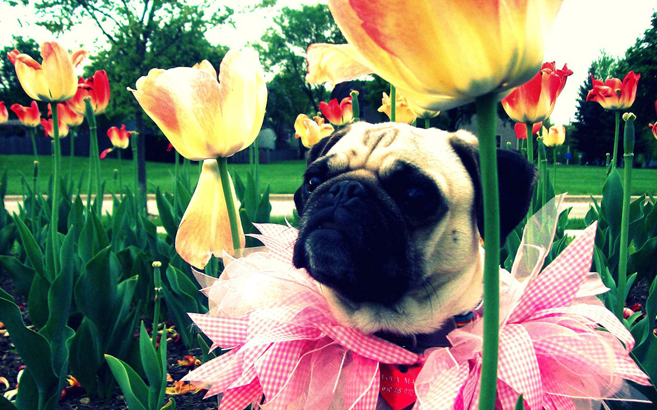 pug hd desktop wallpaper 7 pet pug hd desktop wallpaper pug hd 1280x800