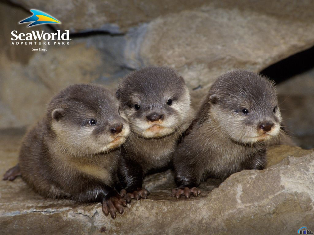 Wallpaper grey otter Baby otters 1024x768
