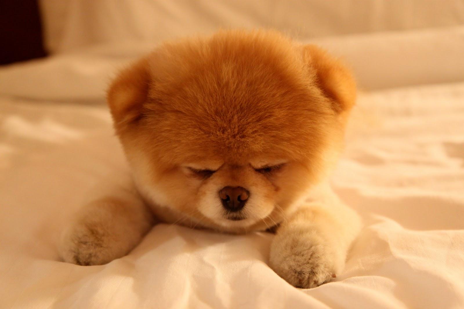 Boo The Cutest Dog Sleepy Wallpaper   Boo The Cutest Dog Sleepy 1600x1066