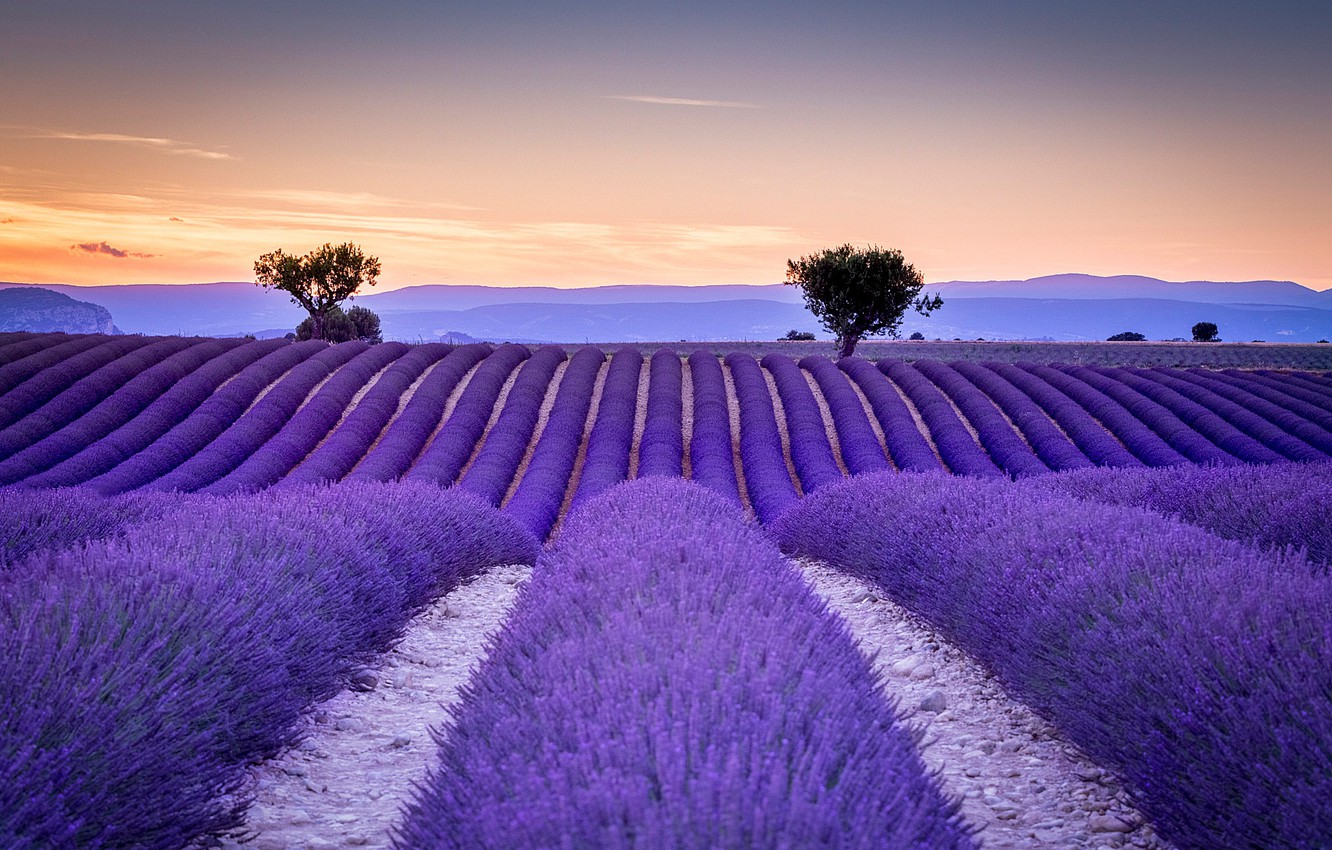 Wallpaper field France the ranks lavender Provence images for 1332x850
