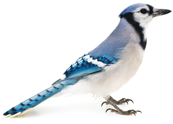Pictures animals blue jay bird picture ipad iphone hd wallpaper 600x431