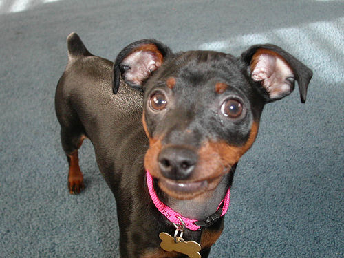 Miniature Pinscher Min Pin Wallpapers Pictures Breed Information 500x375