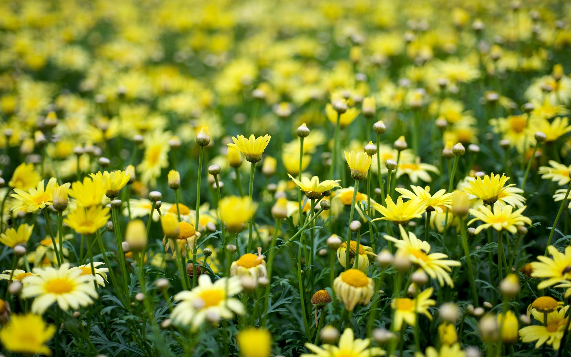 Yellow Flowers Wallpaper 1920x1200