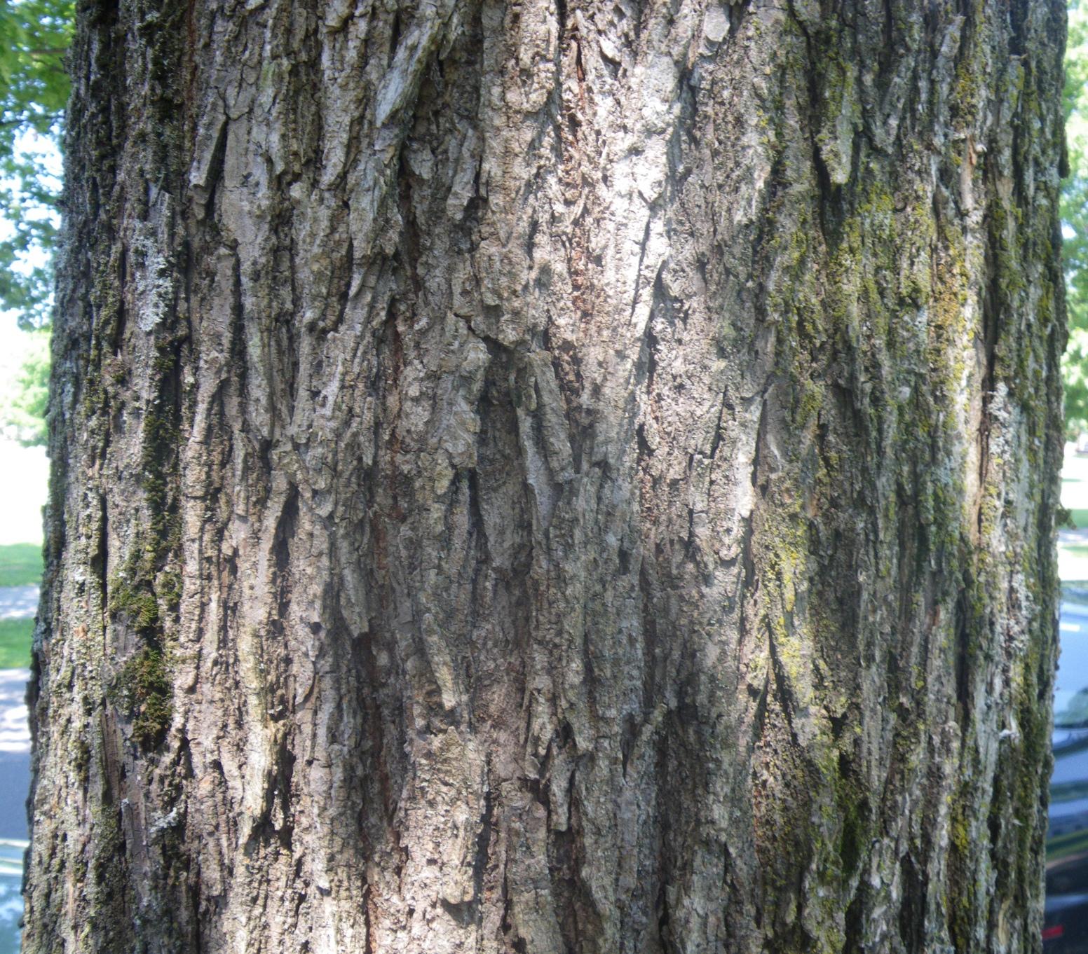 Elm Tree Identification by Bark 1552x1362