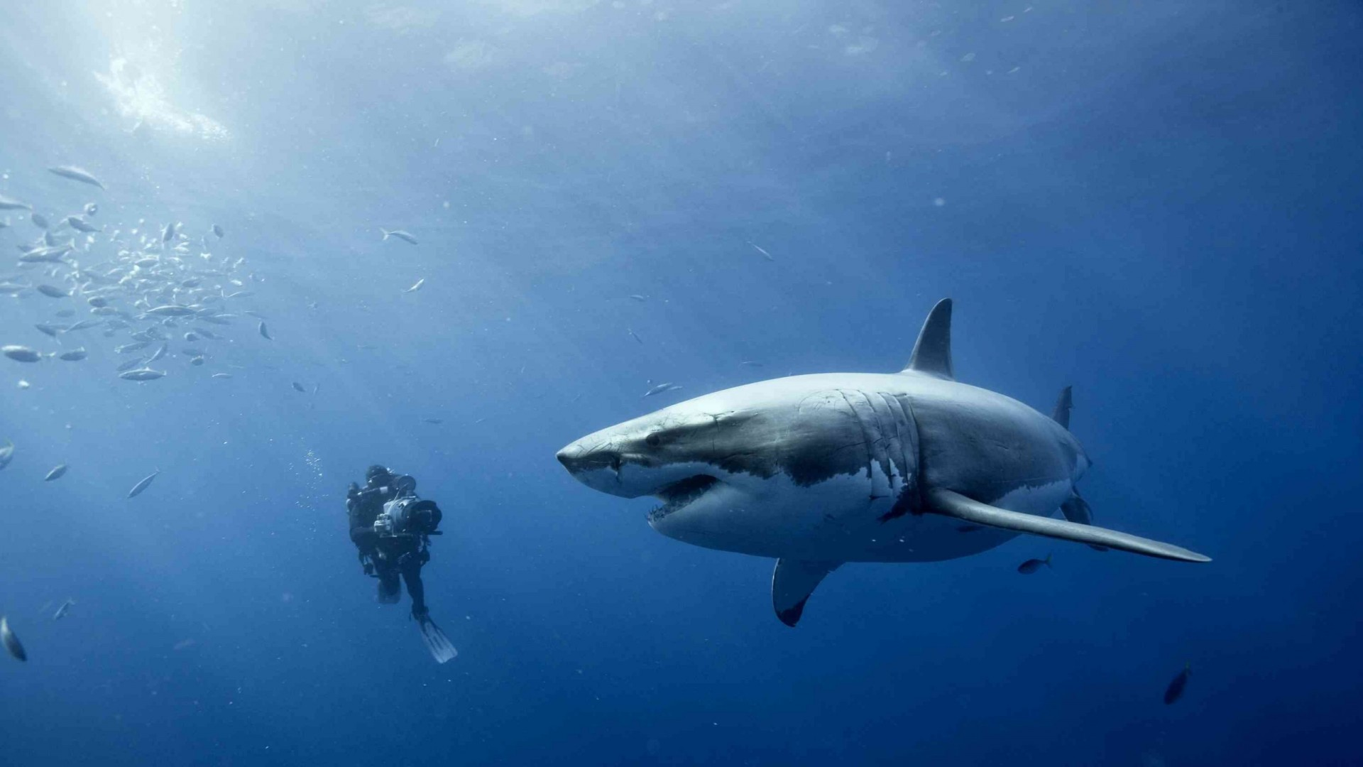 diver and the white shark Wallpaper Background 3962 1920x1080
