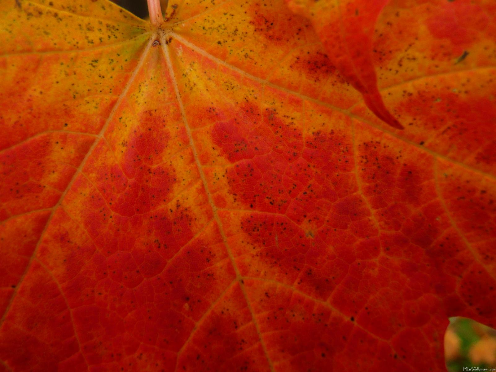 Labels Red Autumn Leaves Photography Hd Wallpapers For: Red Leaf Wallpaper