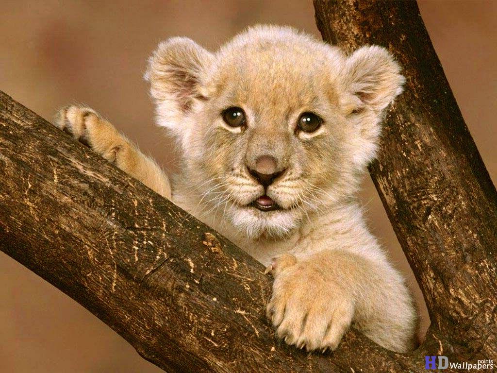 Cub Lion hd photos 1024x768
