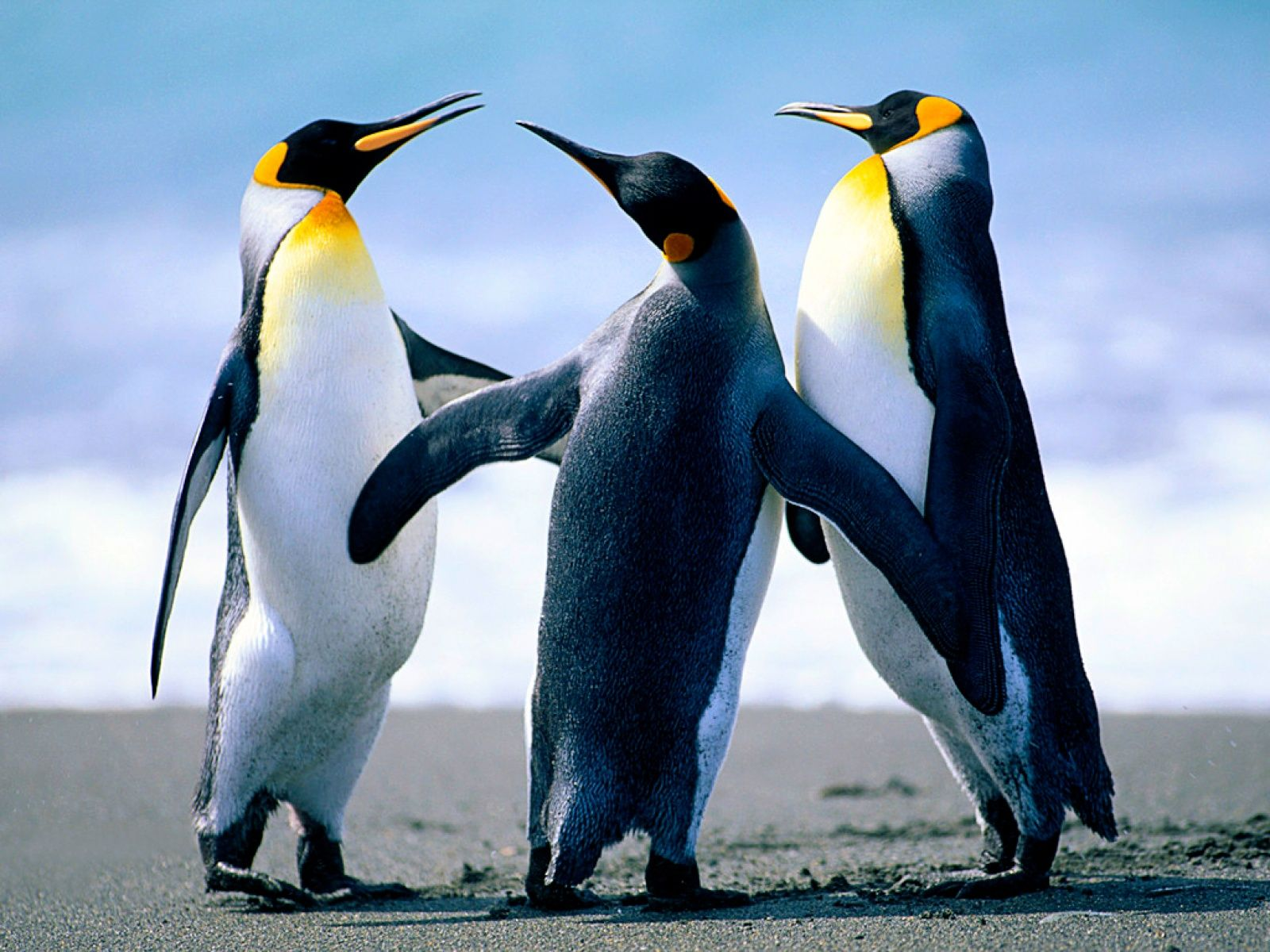 Penguin Wallpapers High Quality Images of Penguin in Good 1600x1200