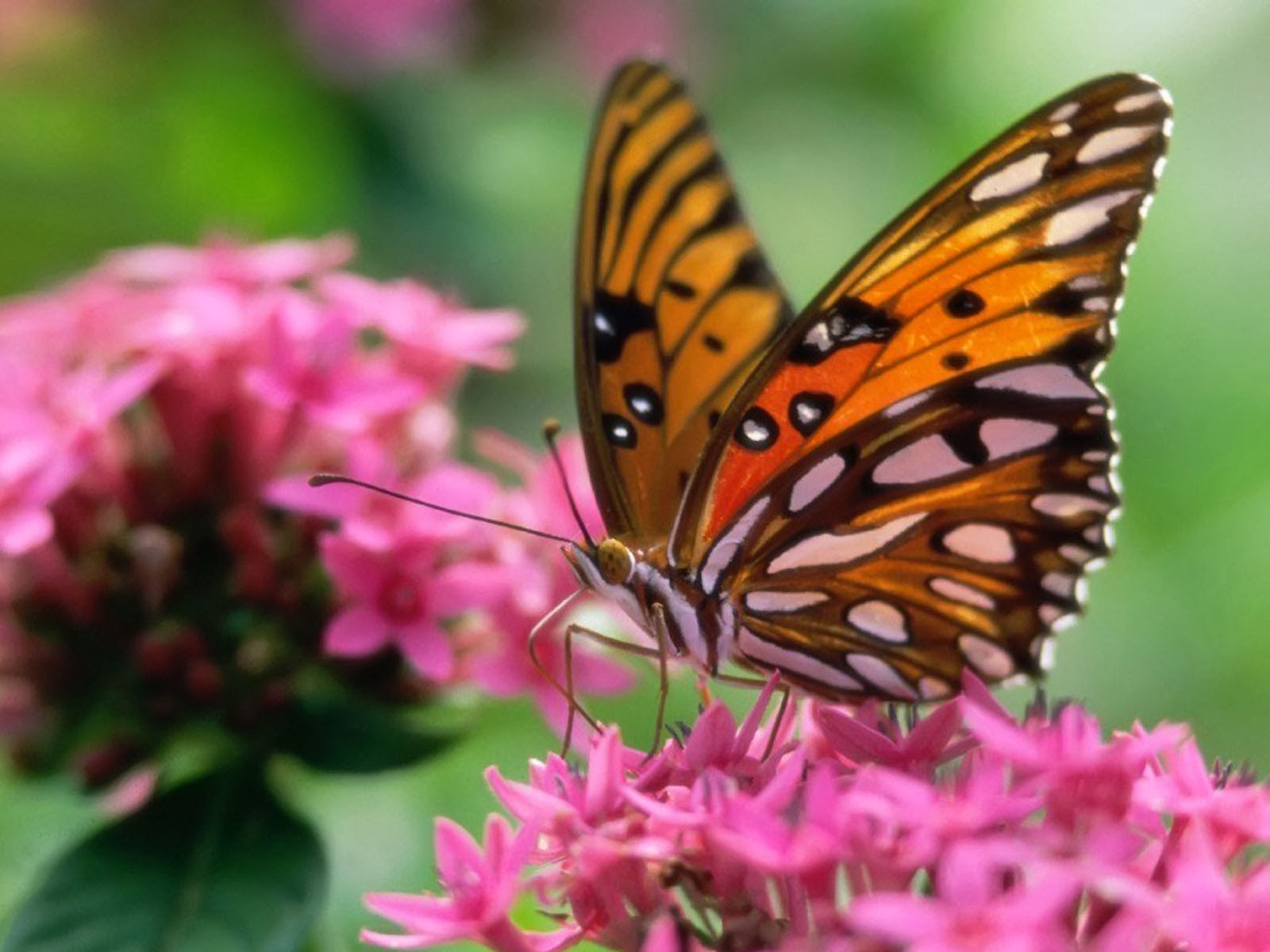 Butterfly desktop background wallpapersafari - Desktop wallpaper 1600x1200 ...