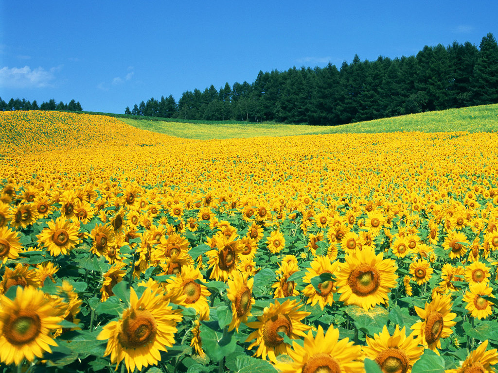 Sunflower Field wallpaper Sunflower Field hd wallpaper background 1024x768