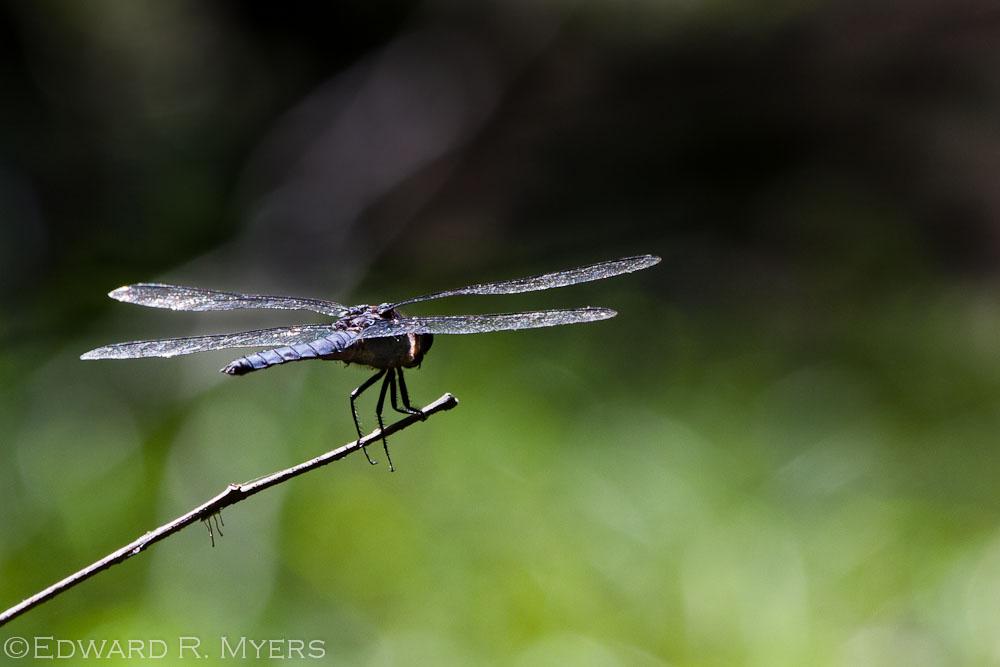 Dragonfly Screensaver Edward R Myers Photography 1000x667