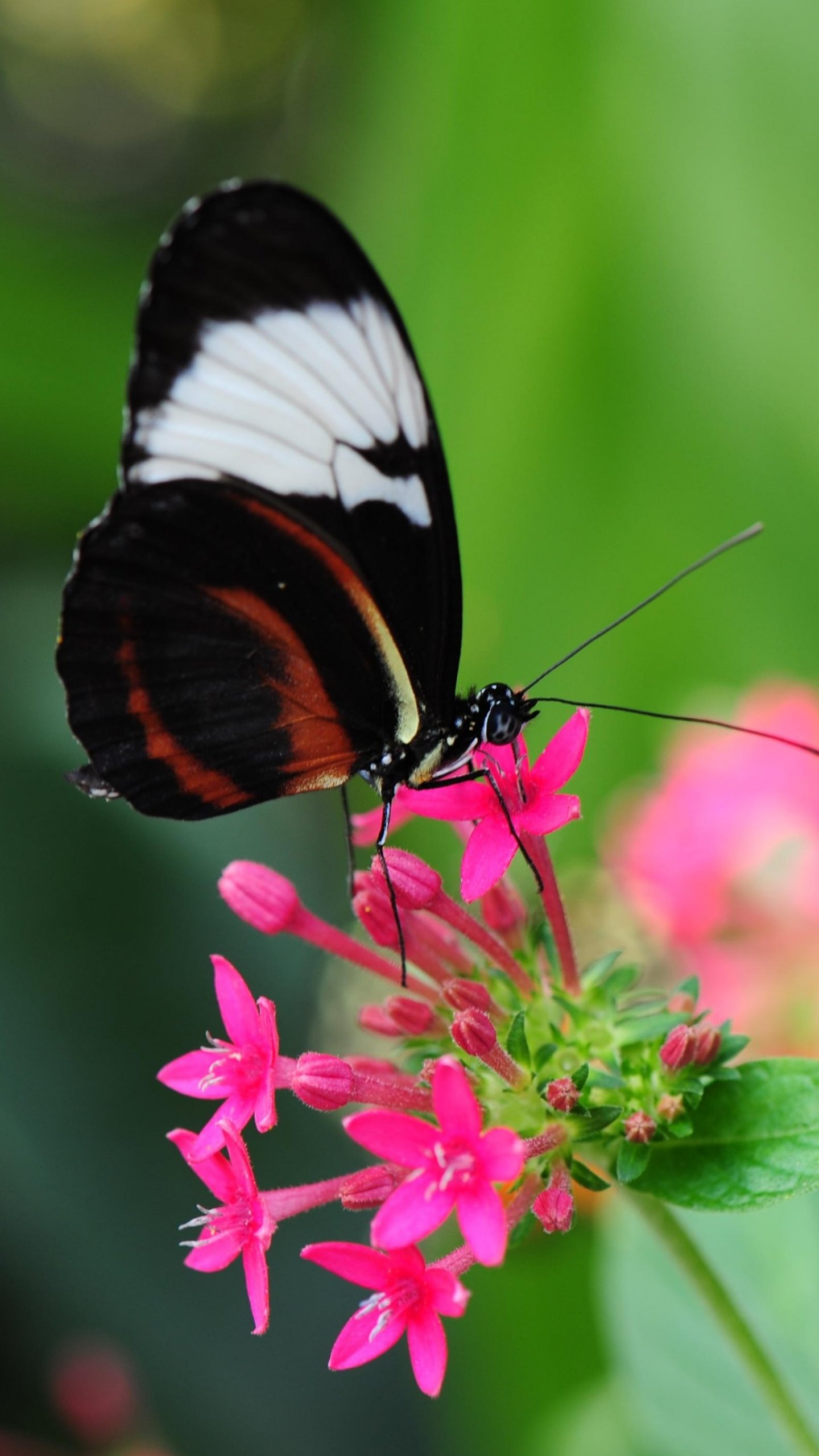 Pretty Butterfly on Pink Flower Wallpaper   iPhone Android 1440x2560