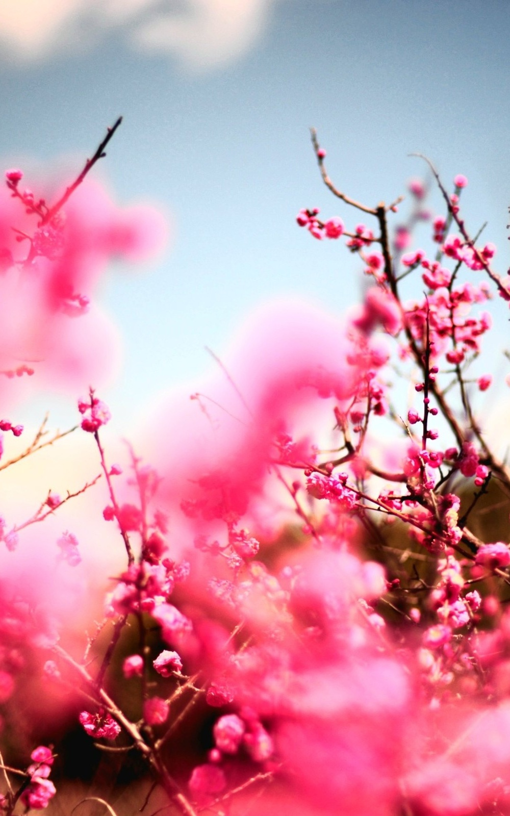 Pink Cherry Blossom Wallpaper - WallpaperSafari