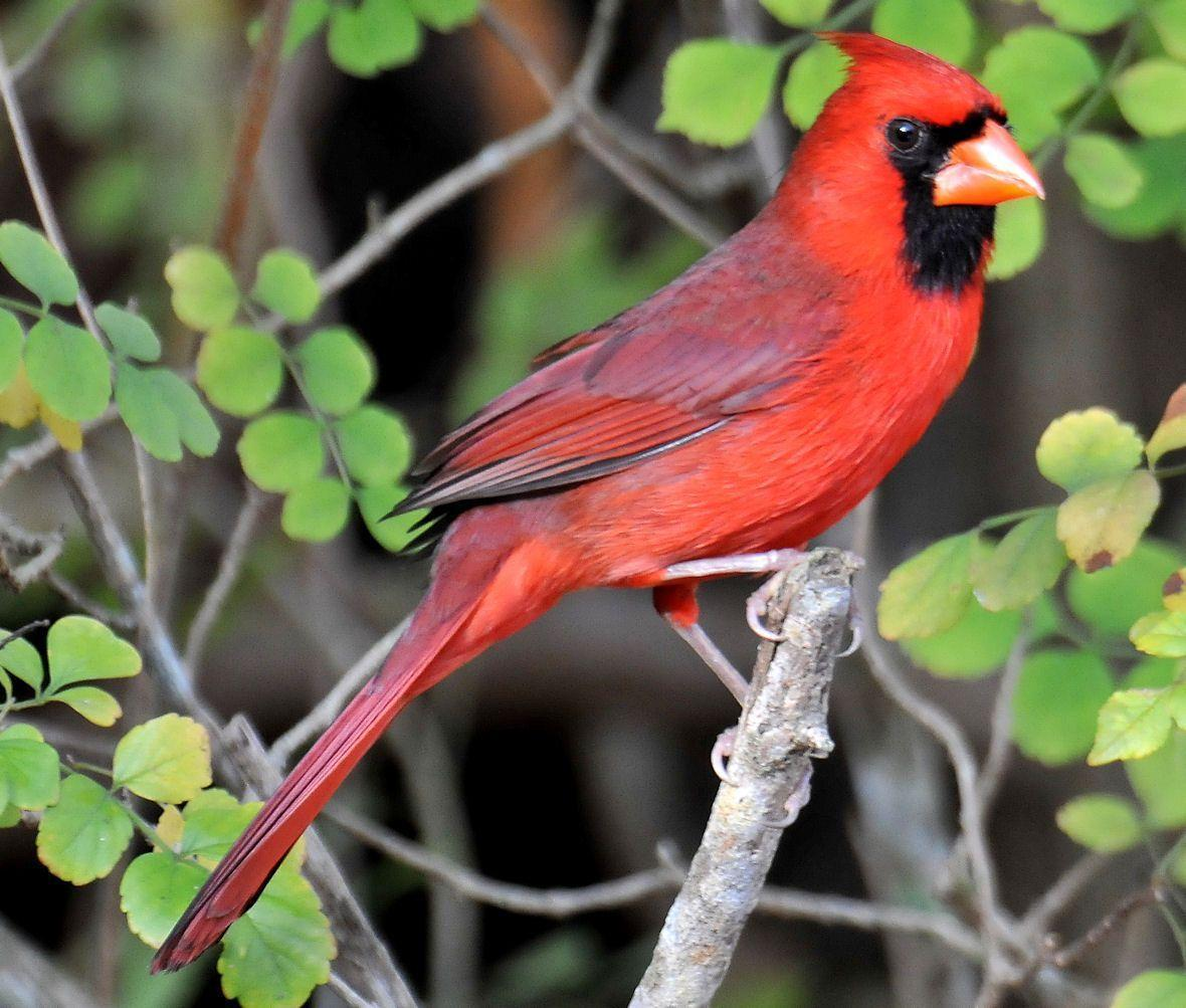 Cardinal Bird Wallpapers 1180x1003