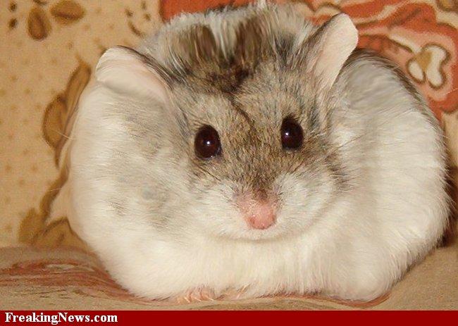 Funny fat hamster wallpaper Funny Animal 650x463