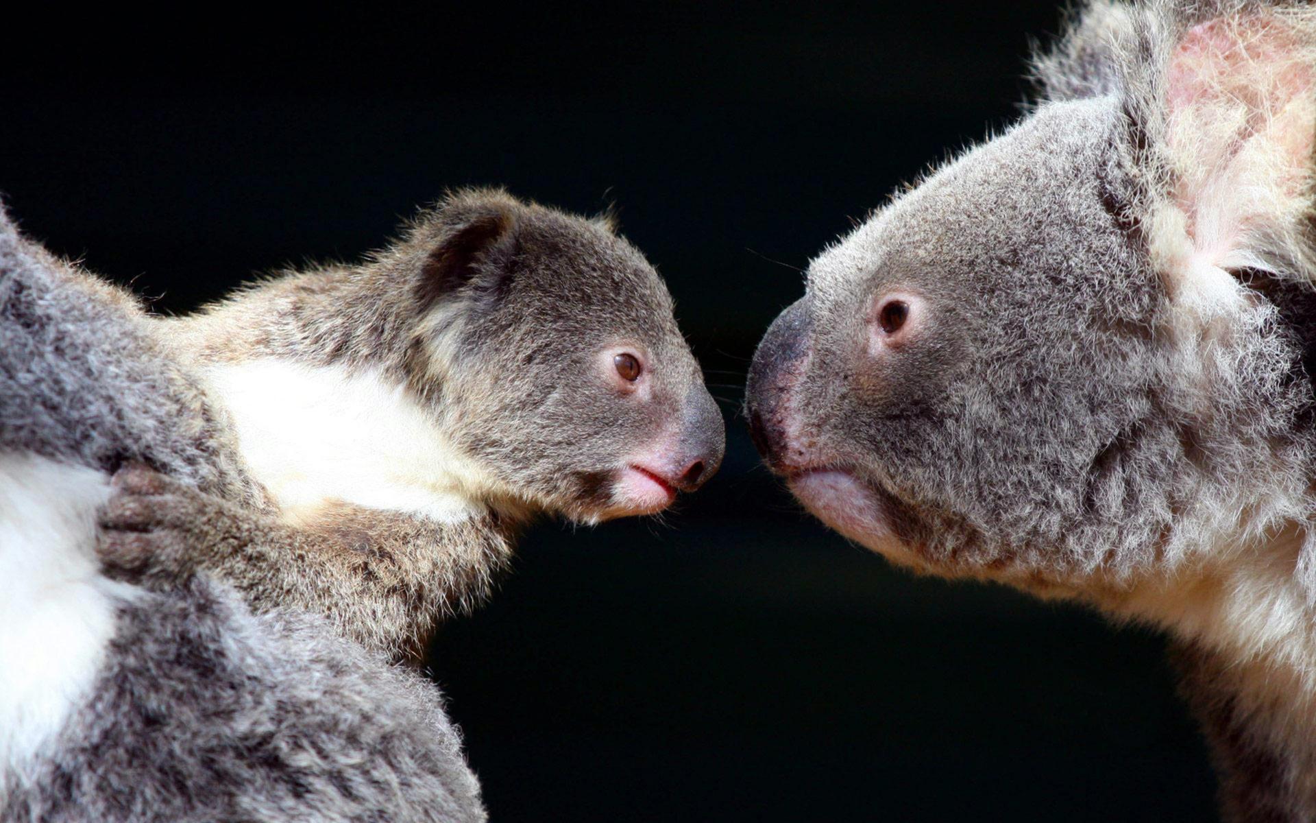 Wallpapers ⇒ Animals ⇒ Koala Wallpaper