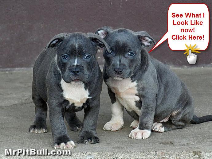 Cute Pitbull Puppies Wallpaper - WallpaperSafari