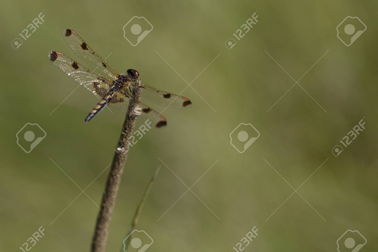 Pretty Dragonfly Clamped On A Twig Isolated On A Blurry 1300x866