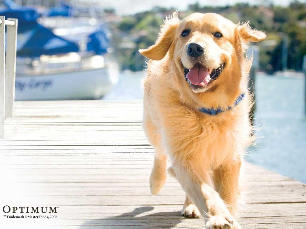 Free Download Golden Retriever Wallpapers 1024x768 For