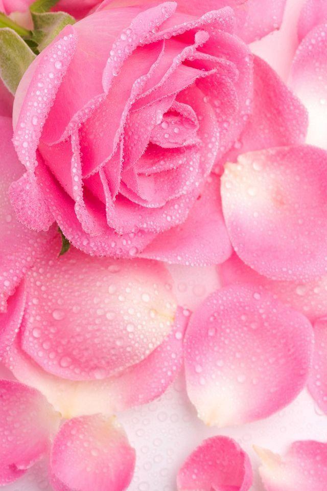 pink rose iPhone Wallpaper Pinterest 640x960