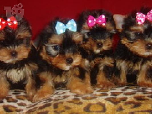 Download Yorkshire Terrier Super Mini E 12000 534x400