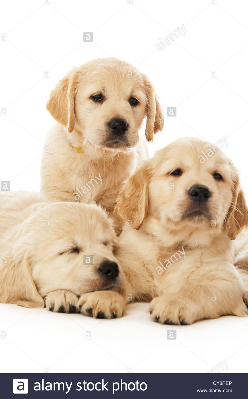 Golden retriever puppies isolated on a white background Stock 863x1390