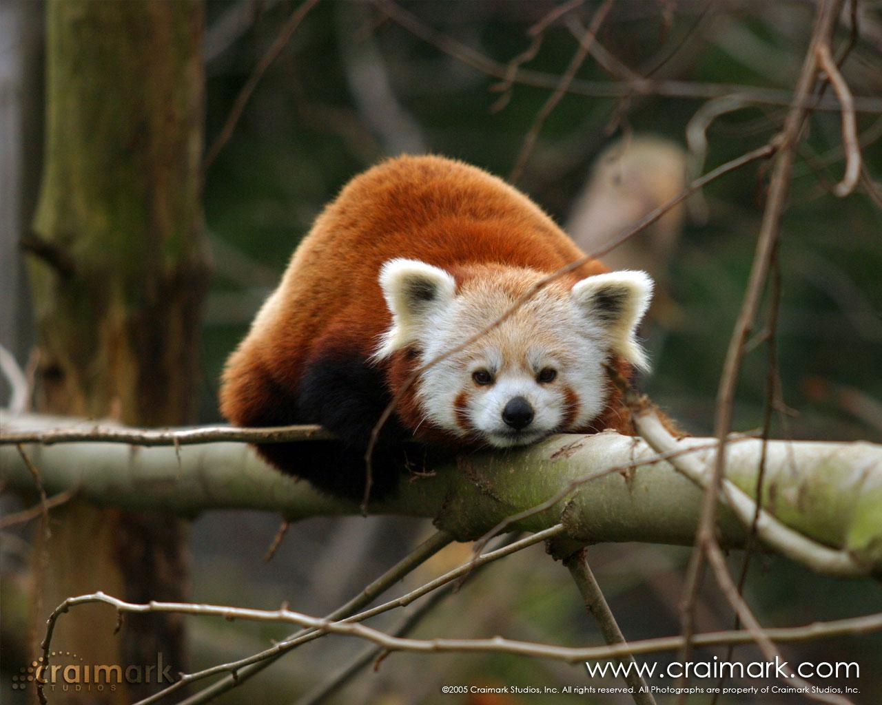 Cute Red Panda Wallpapers Desktop Background Panda Wallpapers Red 1280x1024