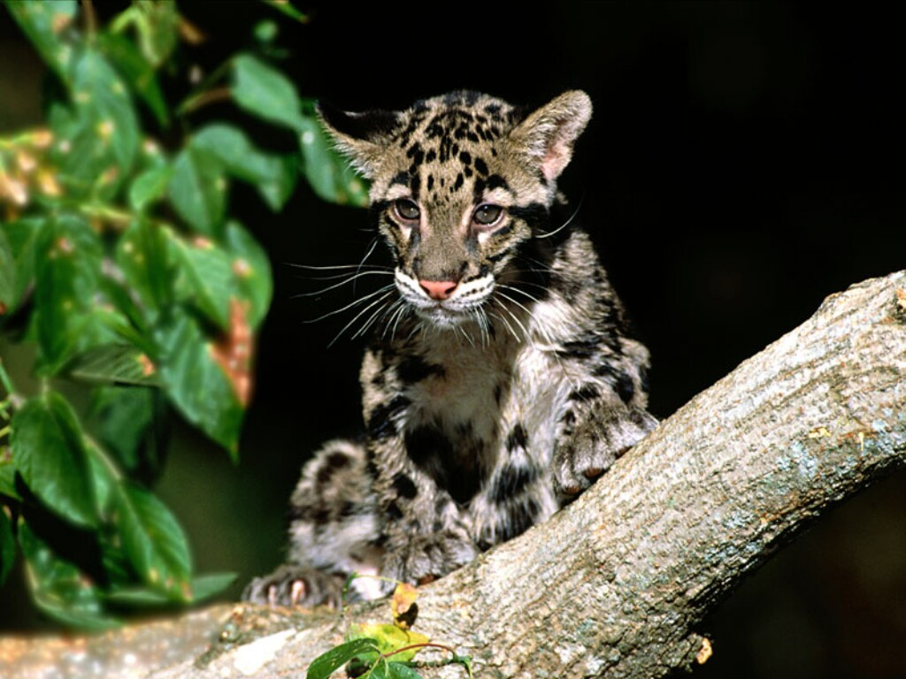 Baby Clouded Leopard Wallpaper   Viewing Gallery 1024x768