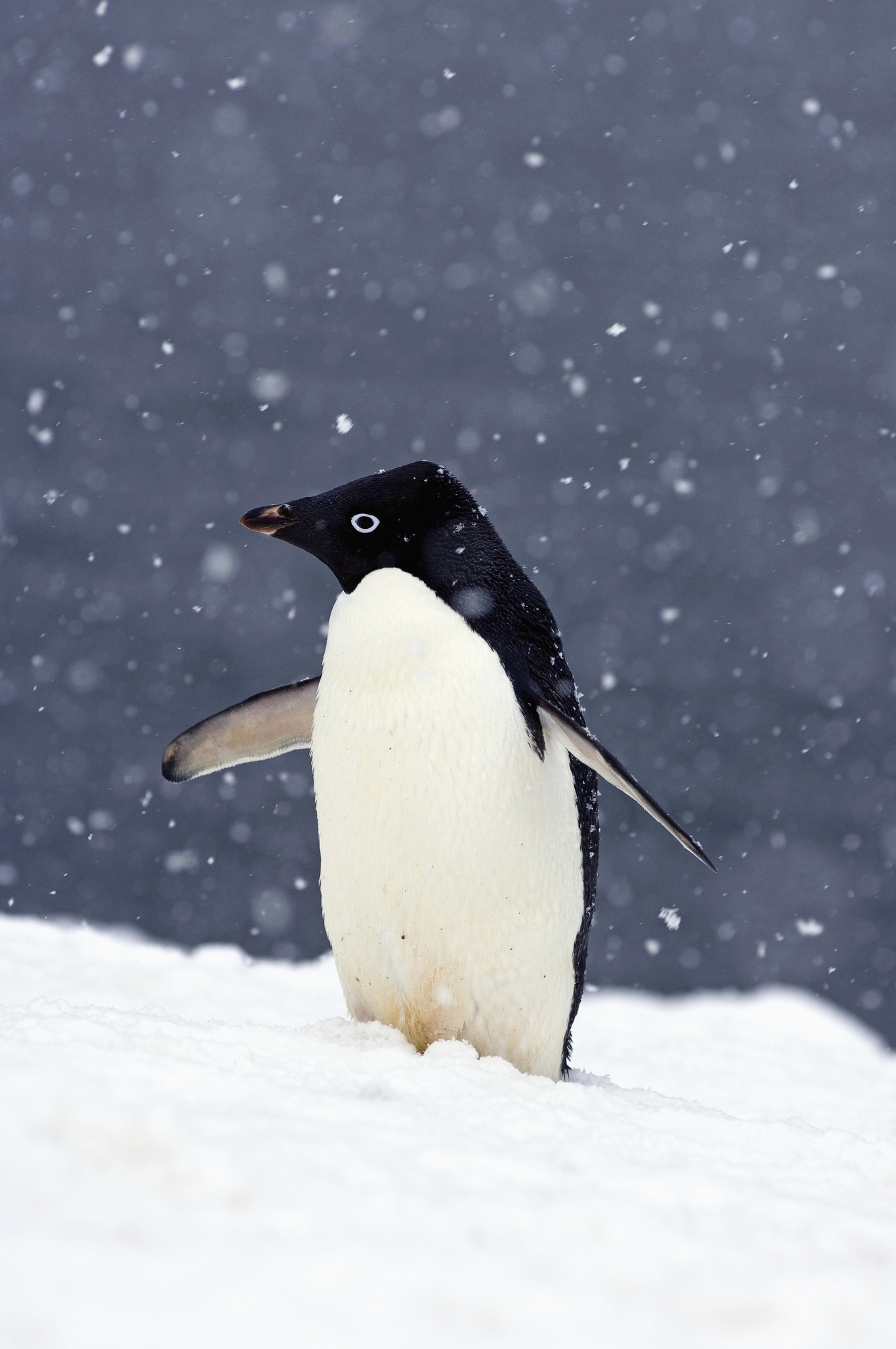 Adelie Penguin Standing In Falling Snow Wallpaper Wallsauce US 1328x2000