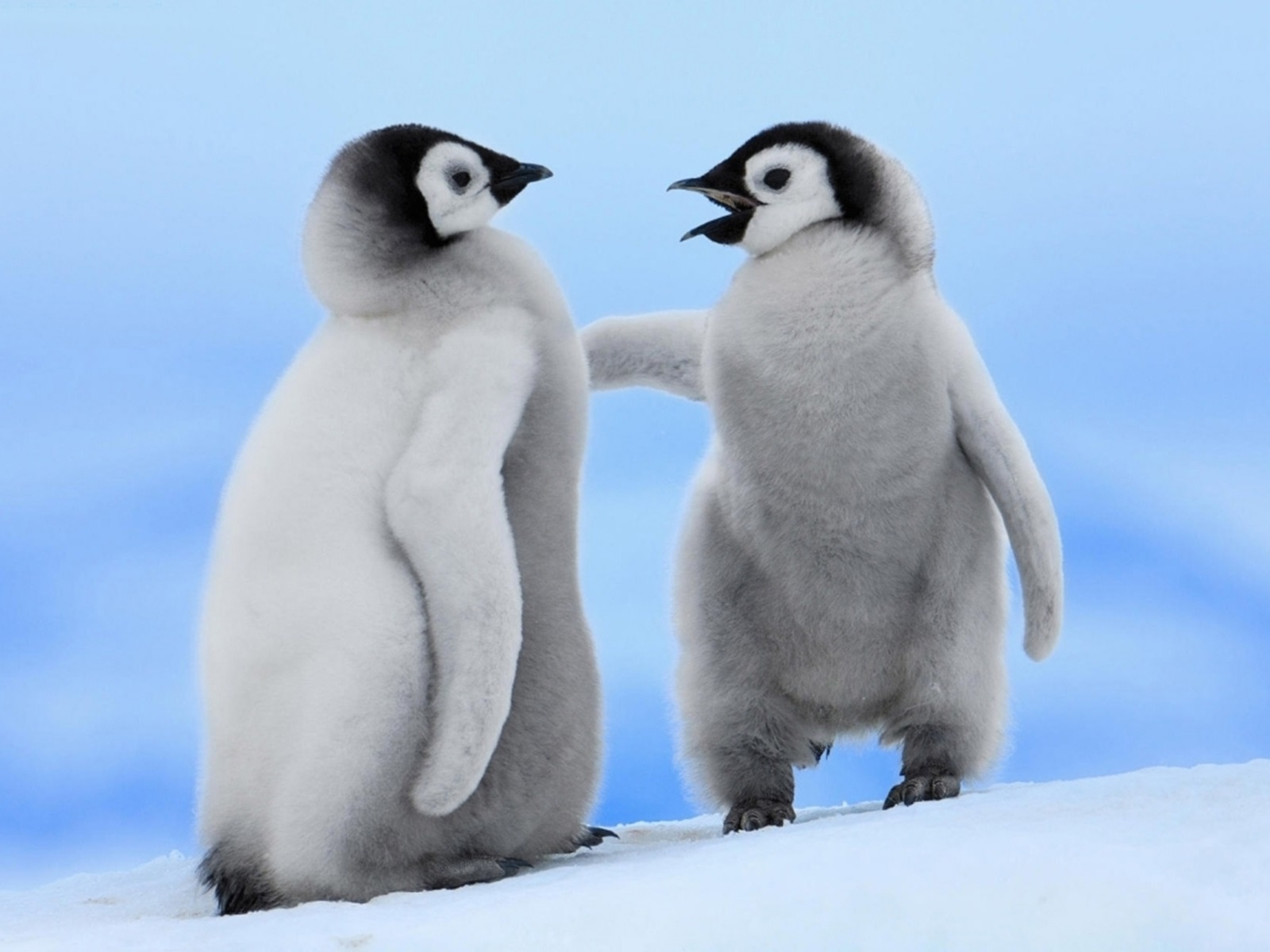 Cute Penguins Couple PhotosHD WallpapersImagesPictures 1600x1200