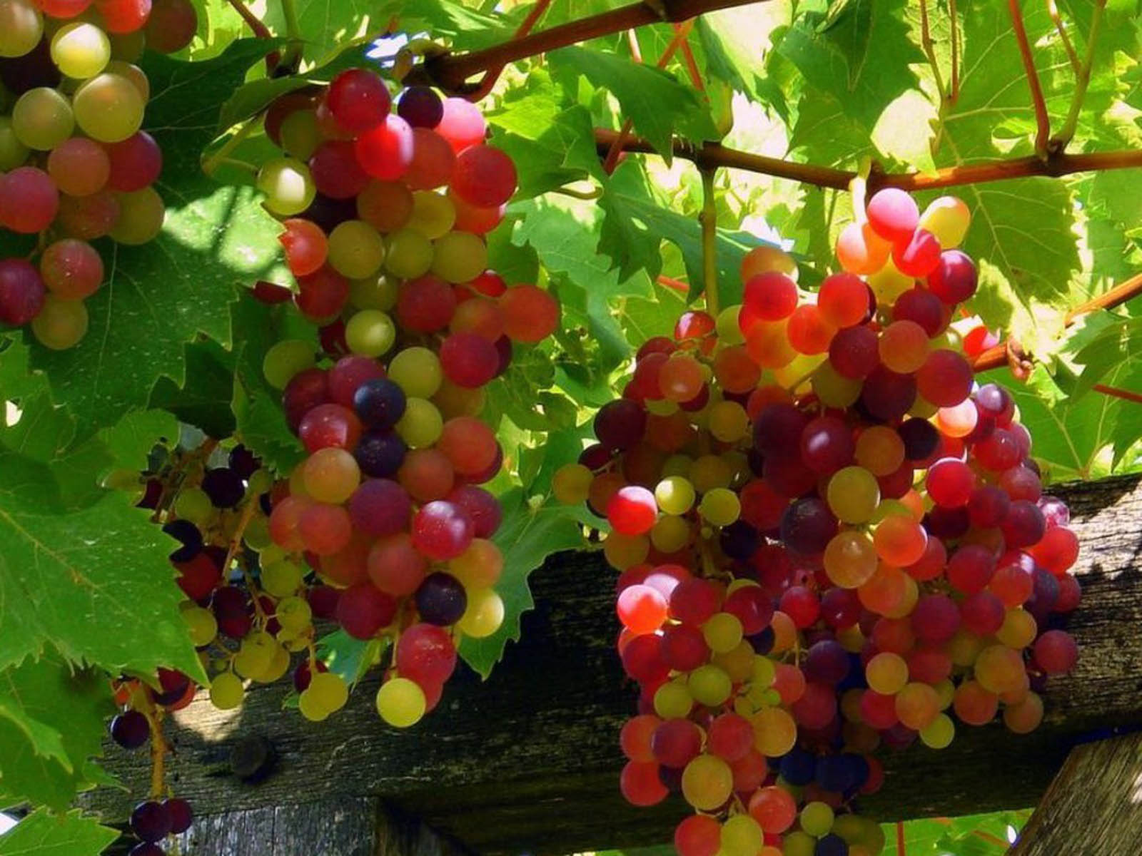 wallpapers Red Grapes 1600x1200