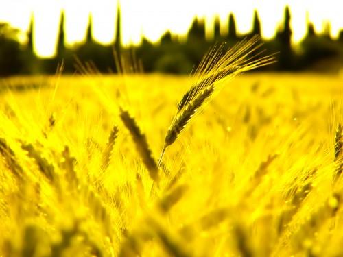Sunny Wheat Fields Screensaver Screensavers   Download Sunny 500x375