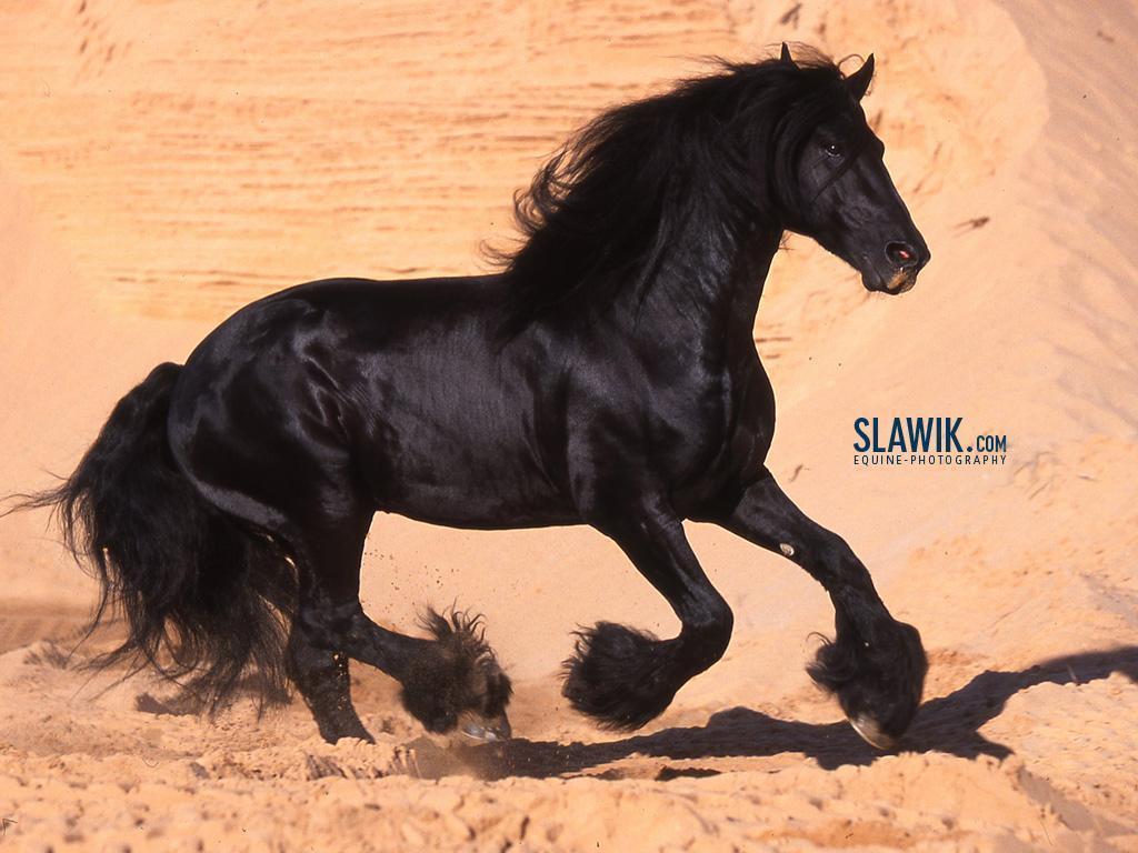 Slawik horse wallpapers   Horses Wallpaper 6070982 1024x768