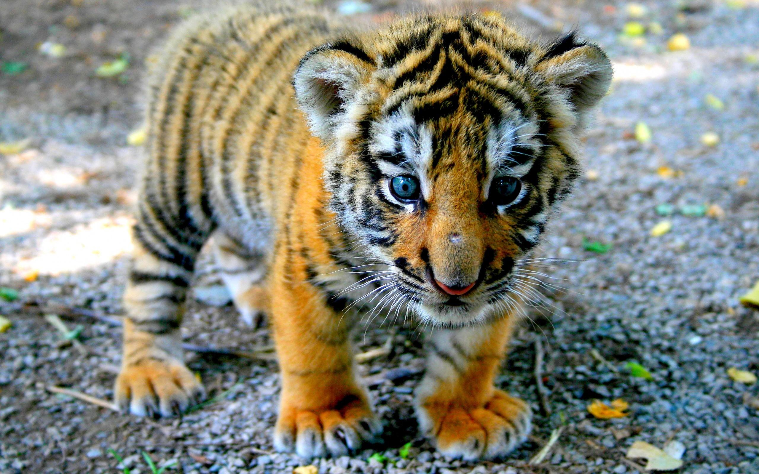 Cute Tiger Cub Wallpapers 37065 5f2560x1600 133607 HD Wallpaper Res 2560x1600