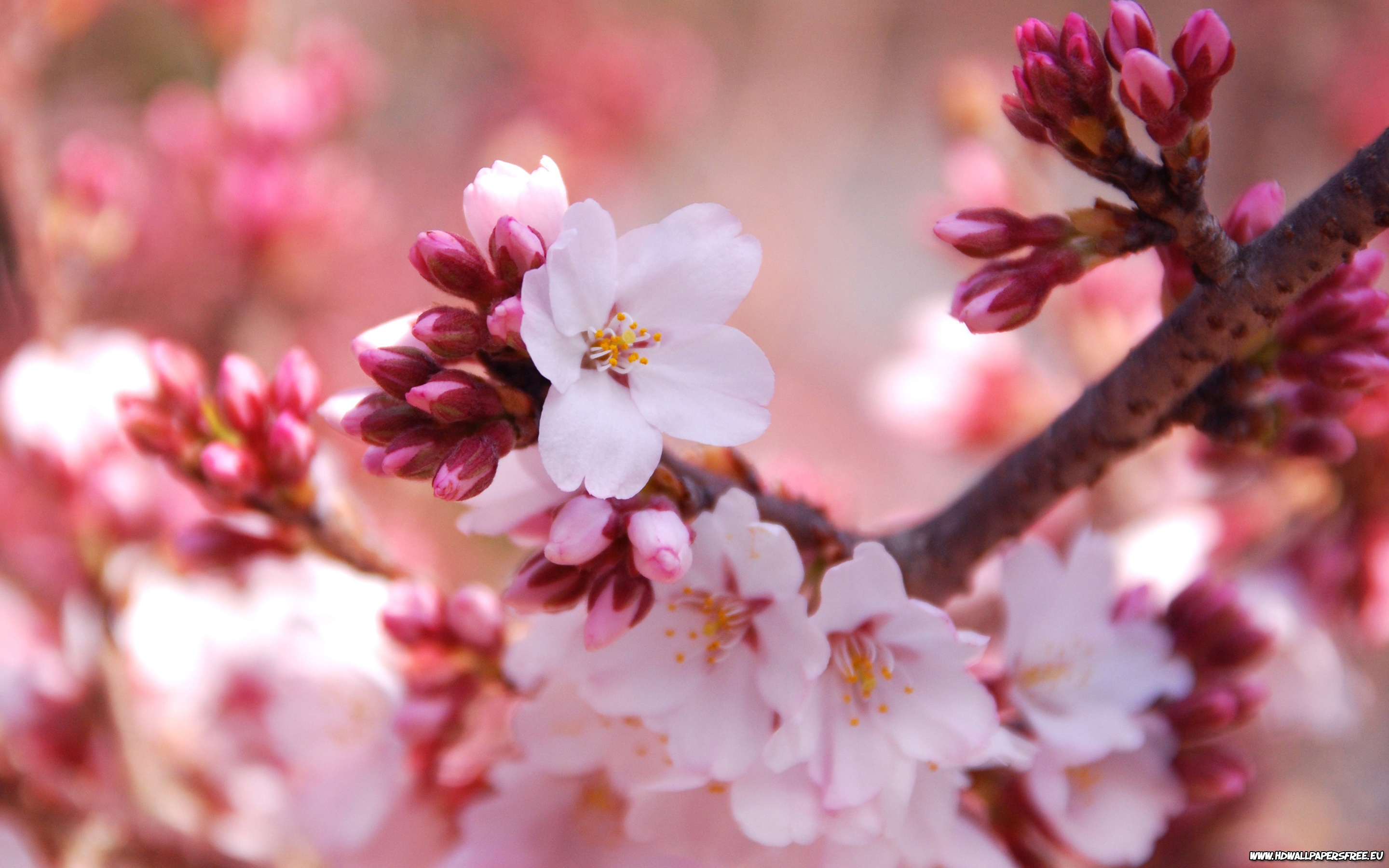 blossom cherry background wallpapers 2880x1800 2880x1800