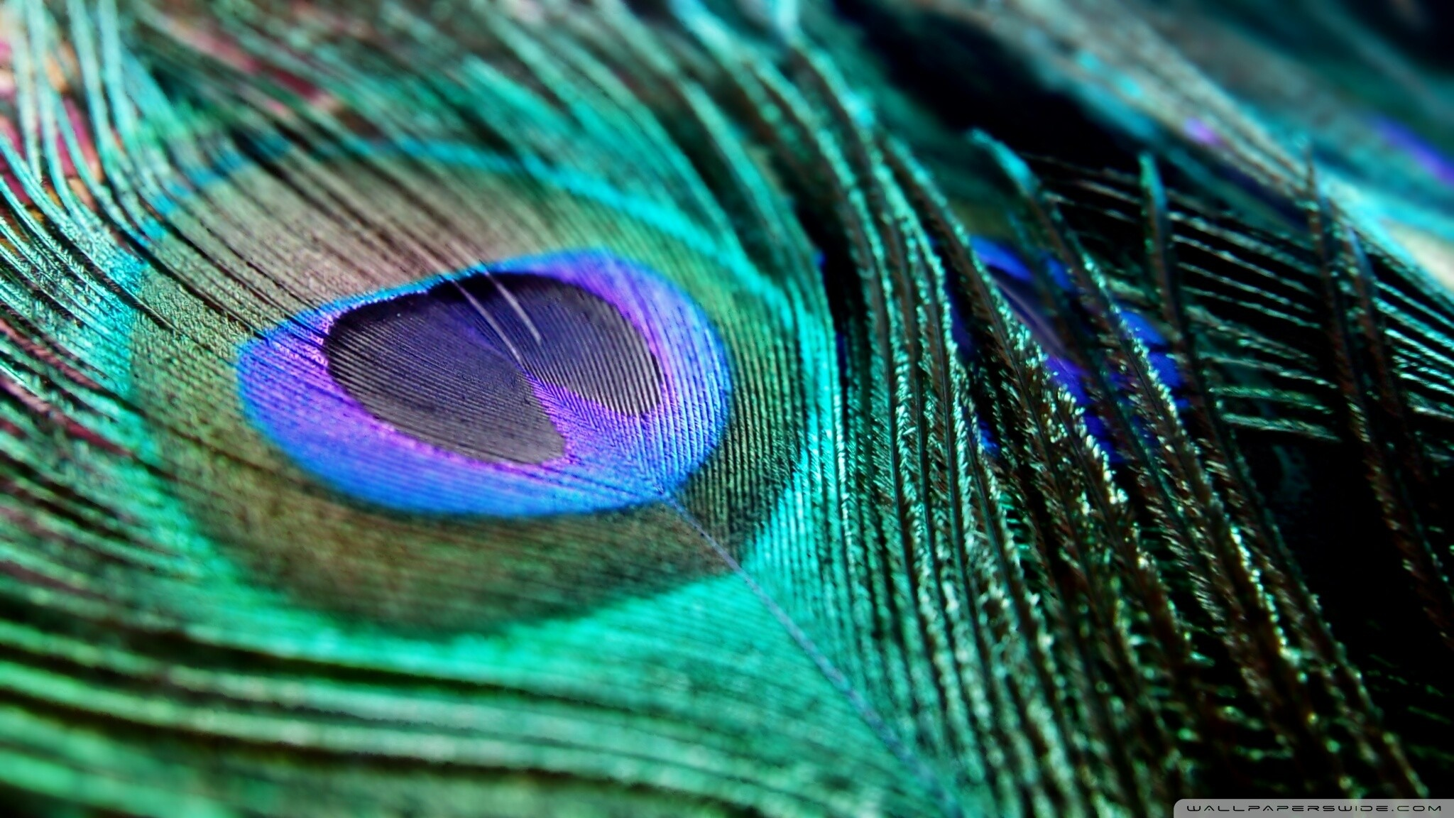 51 Peacock Feather Wallpapers on WallpaperPlay 2048x1152