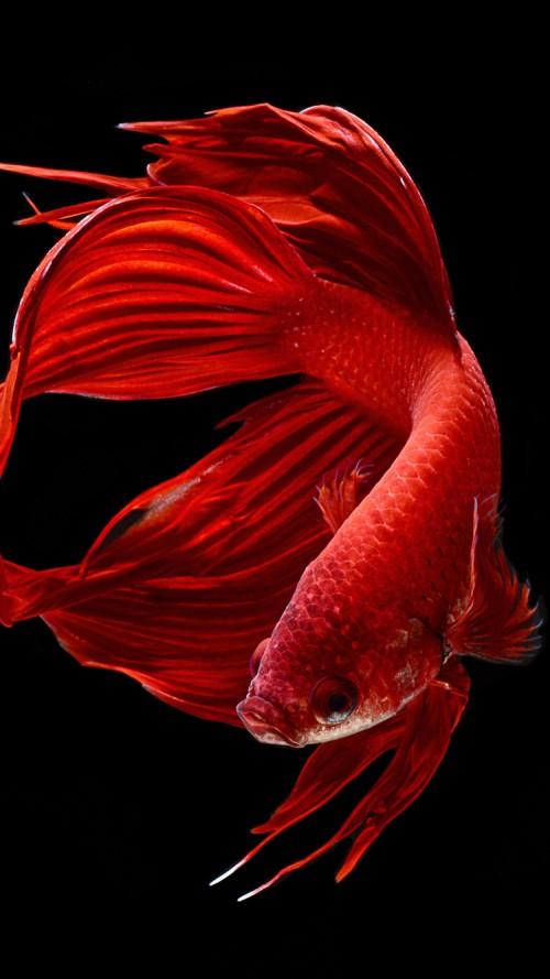 Iphone 6s wallpaper wallpapersafari for Betta fish live wallpaper