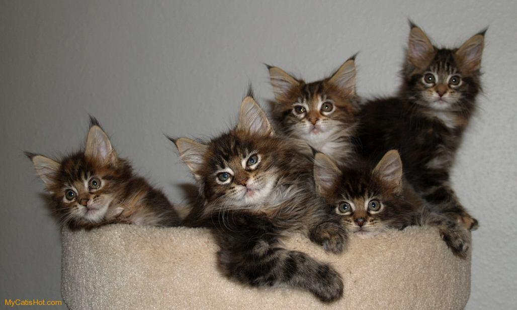 Group Of Coon Cat Wallpapers