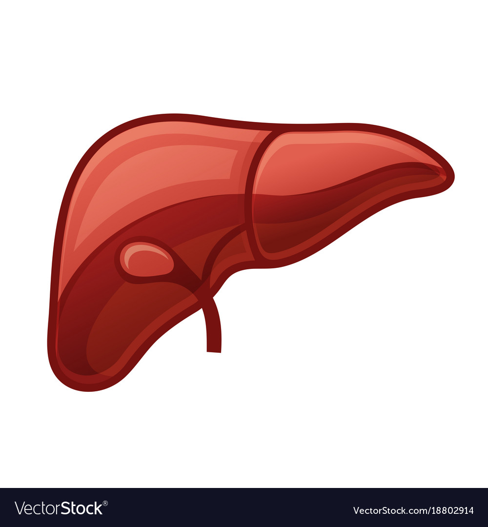 Human liver on white background Royalty Vector Image 1000x1080