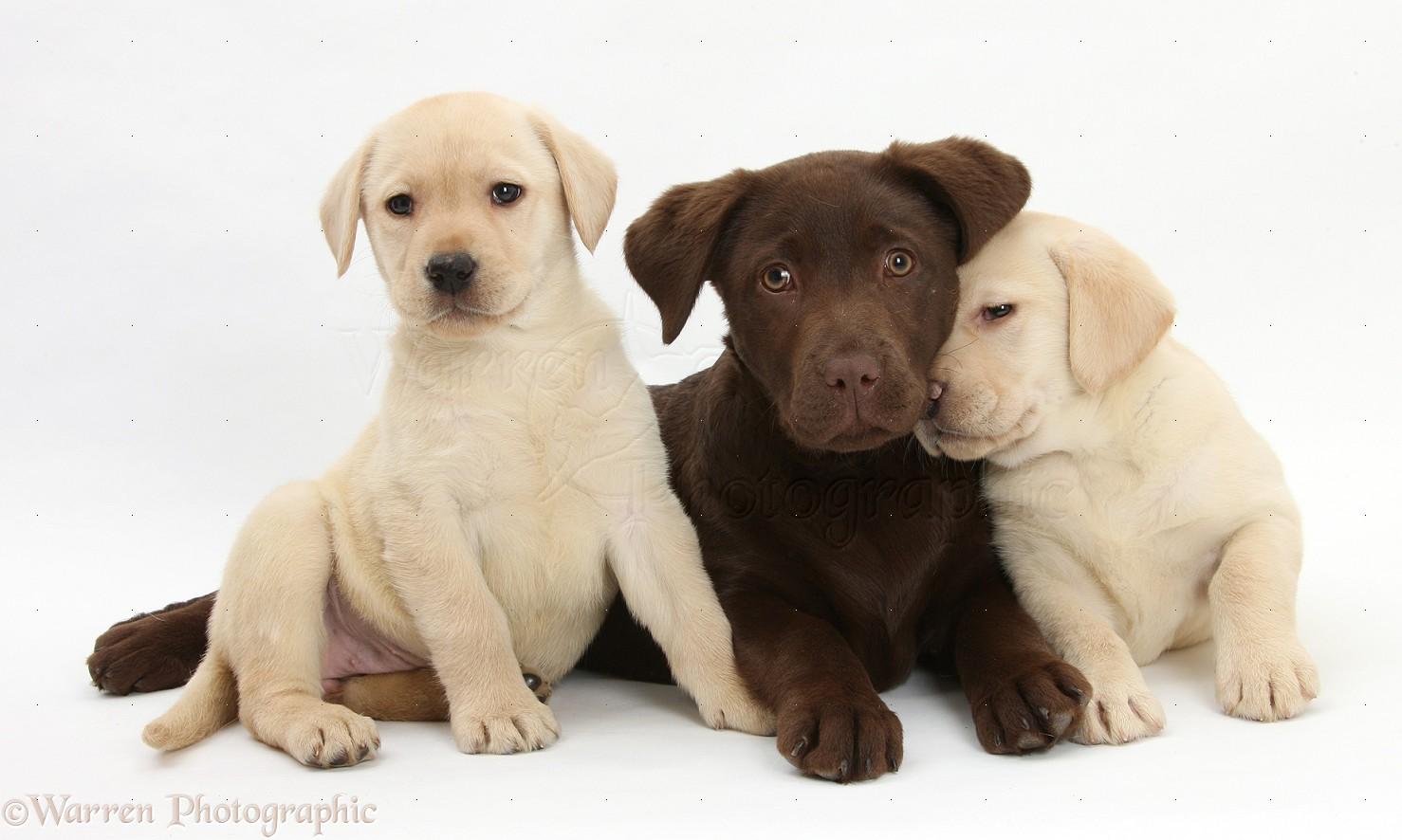 Beautyfull Chocolate labrador Labrador Chocolate Pinterest 1478x886