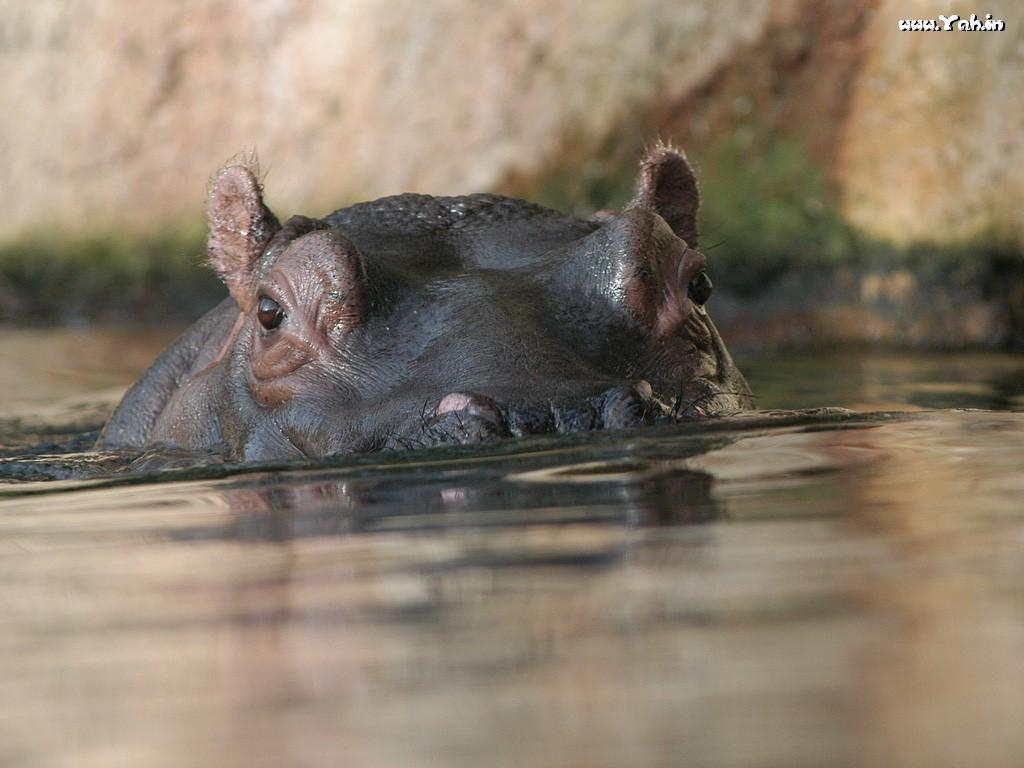 Cute Hippo Wallpaper Wallpapersafari